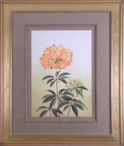 Paul Jones Rhododendron Aurigeranum 1976