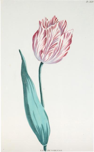 Pierre Joseph Buchoz A set of 6 Tulips
