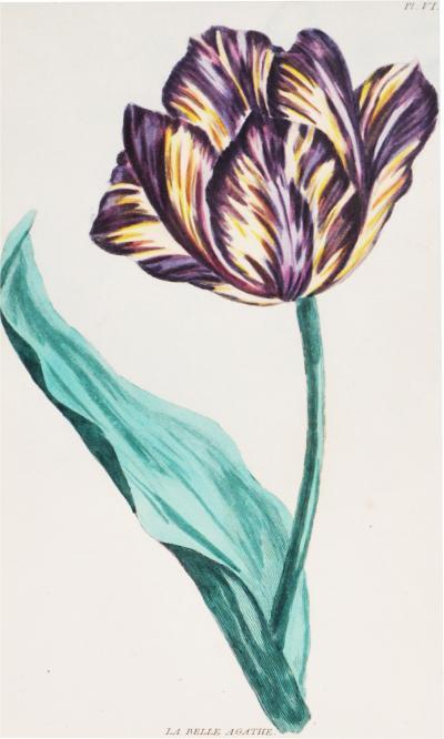 Pierre Joseph Buchoz Pierre Joseph Buchoz Group of six Tulips engravings 1781