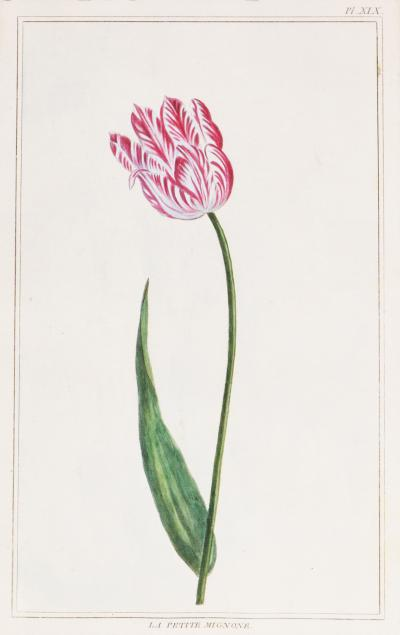 Pierre Joseph Buchoz Pierre Joseph Buchoz Group of six Tulips hand coloured engraved plates 1781