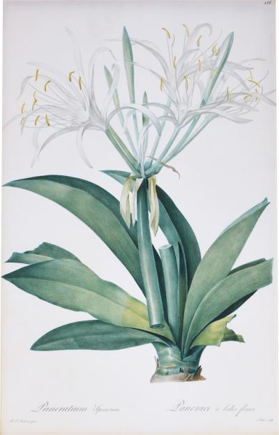 Pierre Joseph Redoute Set of Six White Lillies
