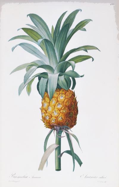 Pierre Joseph Redoute Set of Three Bromelia Pineapples