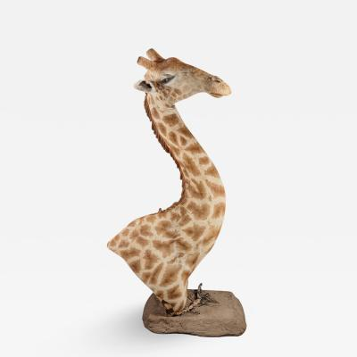RARE EXTREMELY WELL PREPARED LATE 20TH CENTURY TAXIDERMY AFRICAN BULL GIRAFFE