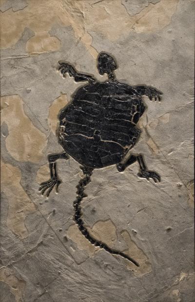 Rare Fossil Turtle