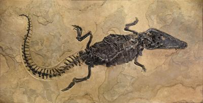 Remarkable Fossil Crocodile from the Eocene
