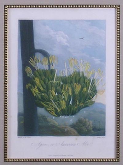 Robert John Thornton Dr Robert John Thornton Agave or American Aloe 1812