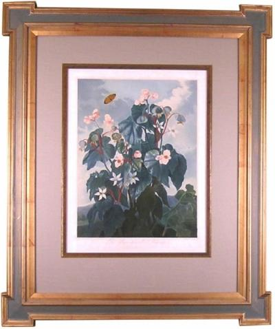 Robert John Thornton Dr Robert John Thornton Oblique leaved Begonia 1800