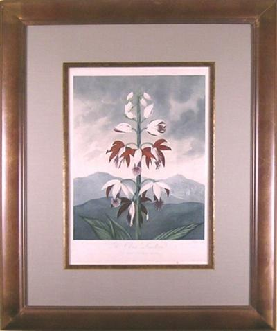 Robert John Thornton Dr Robert John Thornton The China Limodoron Orchid 1798 1810