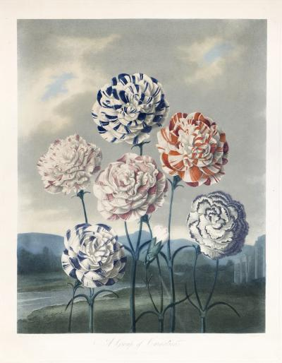 Robert John Thornton Group of Carnations