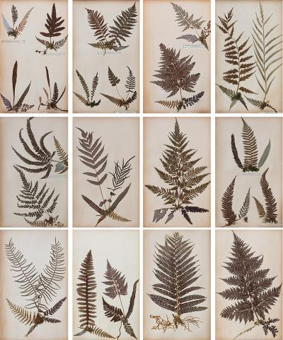 SET OF TWELVE FRAMED 19TH CENTURY PRESSED FERNS