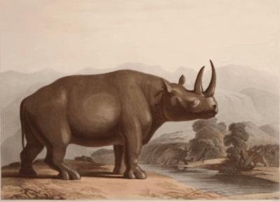 Samuel Daniell The African Rhinoceros