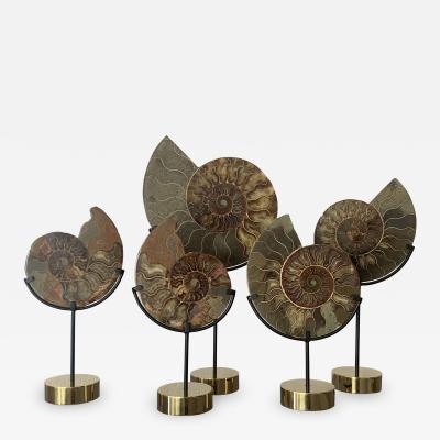 Set of Five Ammonite Fossils