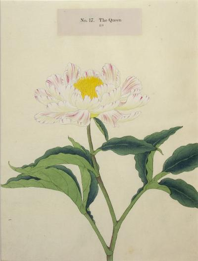 The Queen Japanese Peony