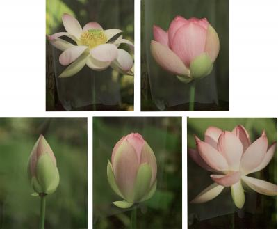 Tulip Blooming Stages Photography Set of Five Matted Framed