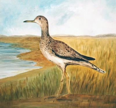 Willet in Beach Grass