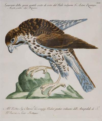 saverio manetti Saverio Manetti group of 6 Birds of Prey 1776