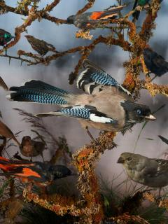 19th C Taxidermy Ornithological Showcase Paradise by Rowland Ward  - 2000335