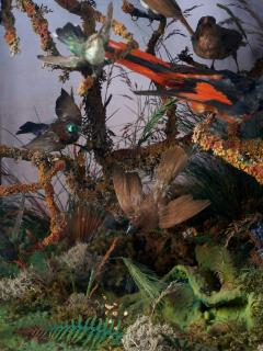 19th C Taxidermy Ornithological Showcase Paradise by Rowland Ward  - 2000339