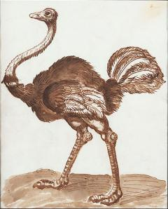 A 17th century drawing of an ostrich - 1001455