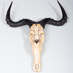 AFRICAN HUNTING TROPHY - 1911405