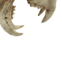Authentic Tiger Skull Mounted on Brushed Steel Base 1970s - 730088