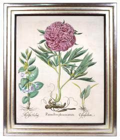 Basilius Besler Basilius Besler a set of Hand coloured Peonies copper engraved plates 1640 - 1085564