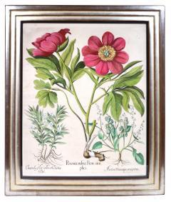Basilius Besler Basilius Besler a set of Hand coloured Peonies copper engraved plates 1640 - 1085567