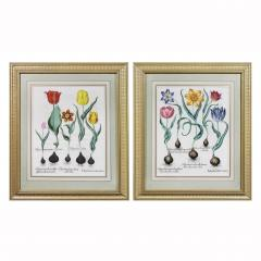 Basilius Besler Framed Hand Colored Engravings of Tulips by Basilius Besler a Pair - 1557645