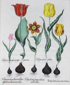 Basilius Besler Framed Hand Colored Engravings of Tulips by Basilius Besler a Pair - 1557706