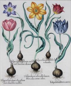 Basilius Besler Framed Hand Colored Engravings of Tulips by Basilius Besler a Pair - 1557709