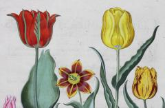 Basilius Besler Framed Hand Colored Engravings of Tulips by Basilius Besler a Pair - 1557723