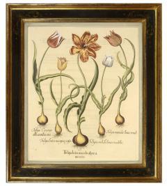 Basilius Besler Pair of Hand coloured Tulips - 790627