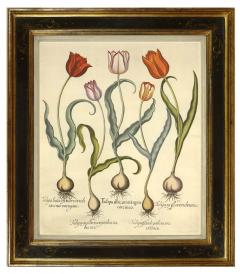 Basilius Besler Pair of Hand coloured Tulips - 790628