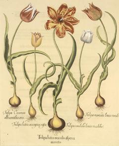Basilius Besler Pair of Hand coloured Tulips - 791167