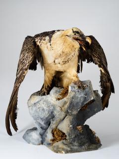 Bearded Vulture Gypaetus barbatus II A cites dd 09 03 2019 - 2041609