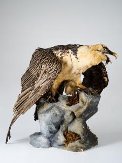 Bearded Vulture Gypaetus barbatus II A cites dd 09 03 2019 - 2041614