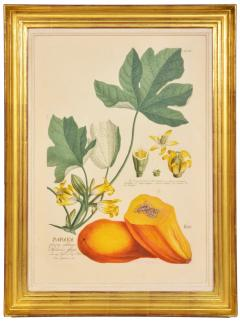 Christoph Trew A Set of Three engraved botanical plates - 781492