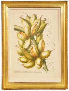 Christoph Trew A Set of Three engraved botanical plates - 781493