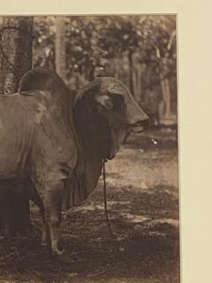 Circa 19th Century Photograph of a Brahma Bull India - 1868418