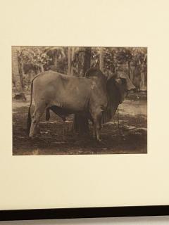 Circa 19th Century Photograph of a Brahma Bull India - 1868420