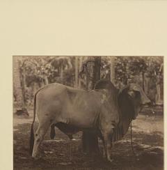 Circa 19th Century Photograph of a Brahma Bull India - 1868421