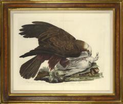 Cornelius Nozeman Double page Bird of Prey MILVI RUGINOSUS from Nederlandsche Vogelen  - 815597