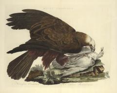 Cornelius Nozeman Double page Bird of Prey MILVI RUGINOSUS from Nederlandsche Vogelen  - 815823