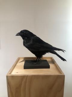 Crow - 1702377