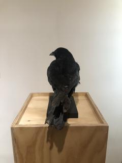 Crow - 1702379