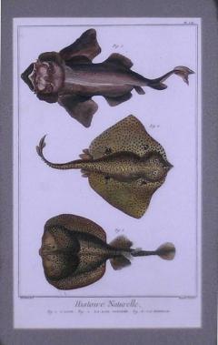 Denis Diderot Pl LII 1 Angelfish 2 Sting Ray 3 Torpedo - 1577485