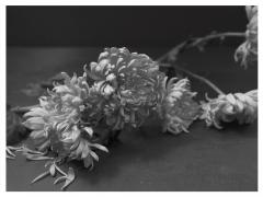 Don Freeman Black and White Flower Series - 2095303