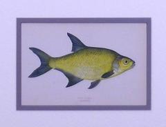 Edward Donovan Lake Trout Lake Bream - 1577388