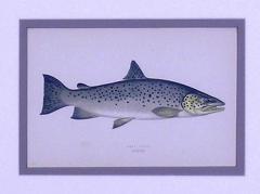 Edward Donovan Lake Trout Lake Bream - 1577389