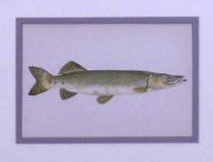 Edward Donovan Sea Trout Pike - 1577391